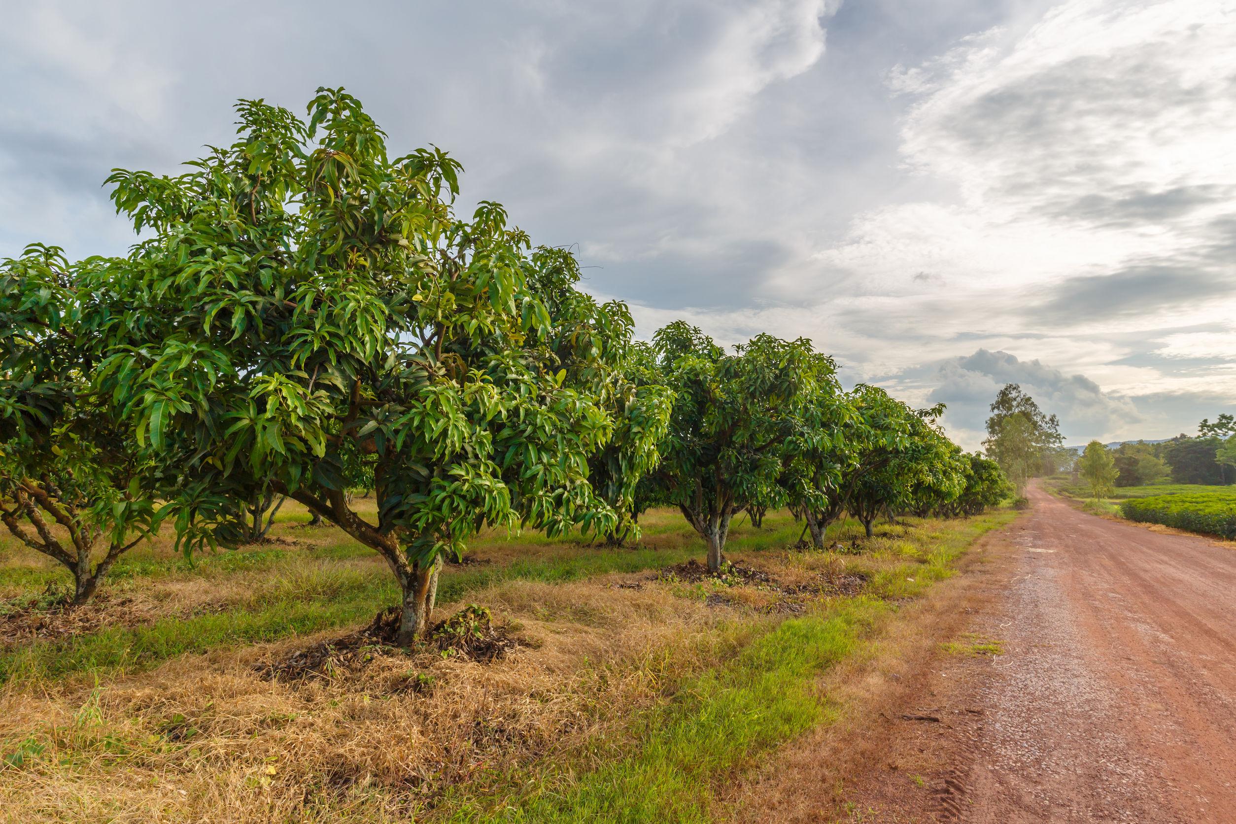 Mango farm at Noen Maprang, Phitsanulok, countryside of Thailand